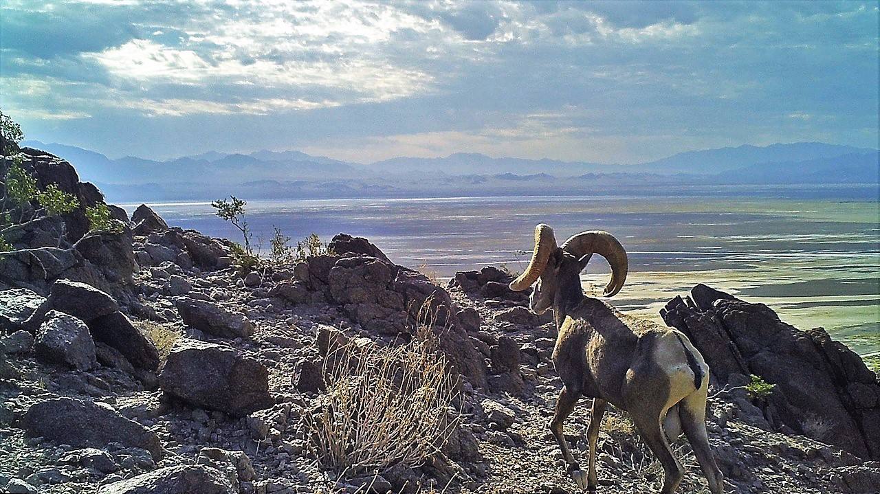Bighorn Sheep and Native Cosmology