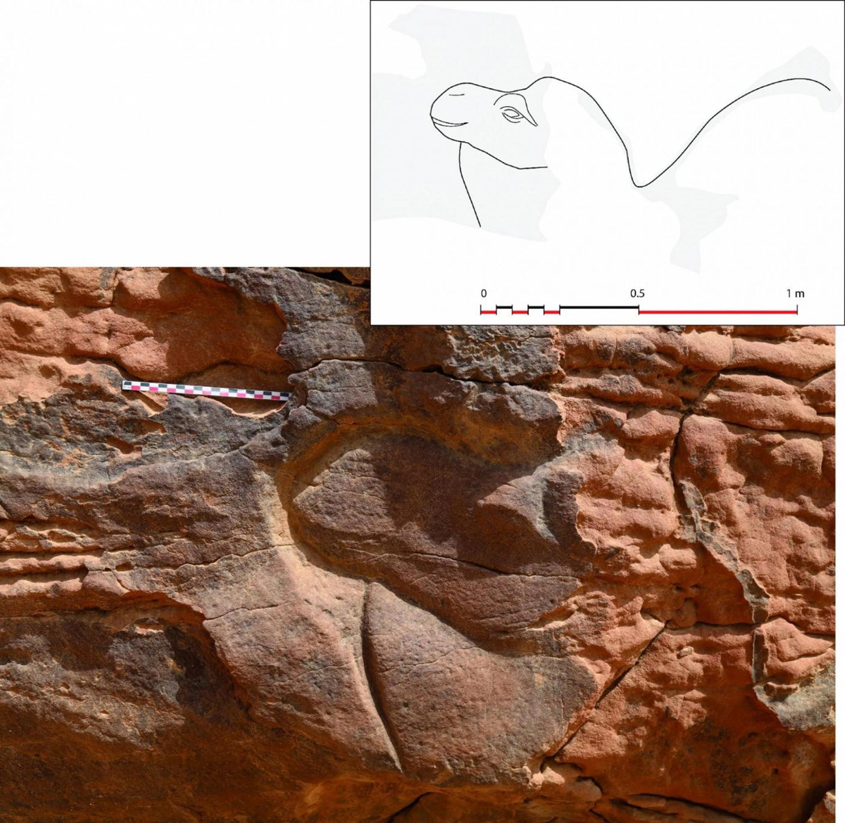 Discovery of life size camel reliefs in Saudi Arabia