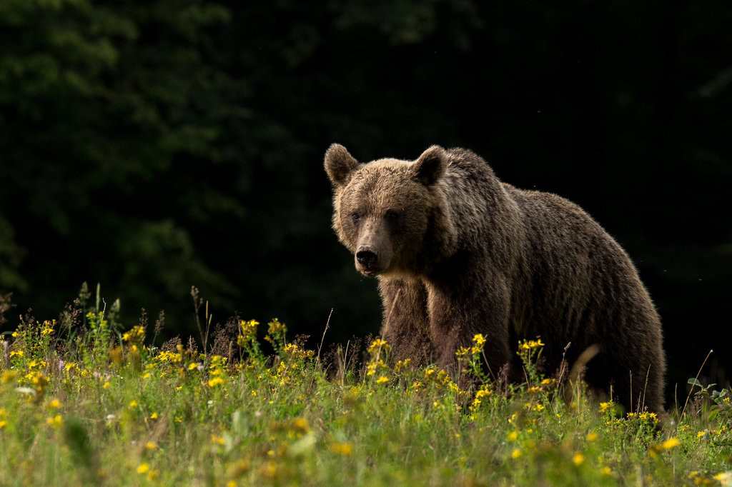 modern brown bears carry genetic material passed down from the cave bear. This indicates that extinction does not always vanquish a species' genes.