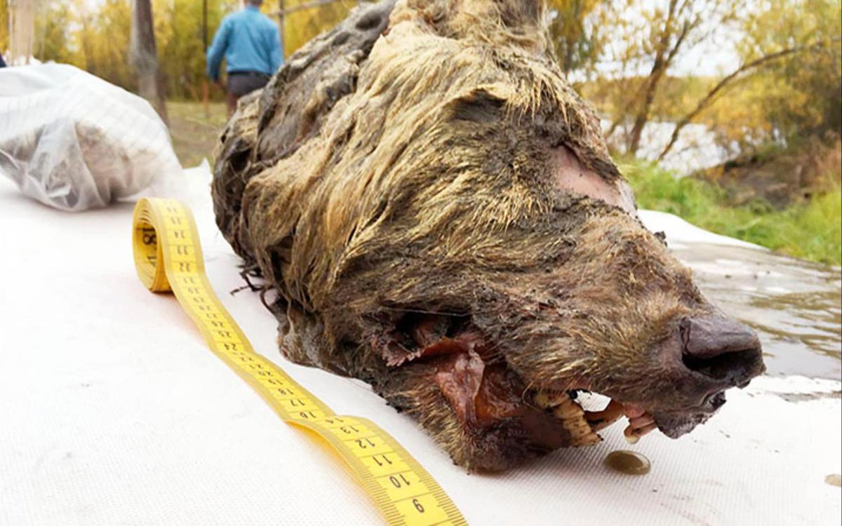 Ice Age wolf found