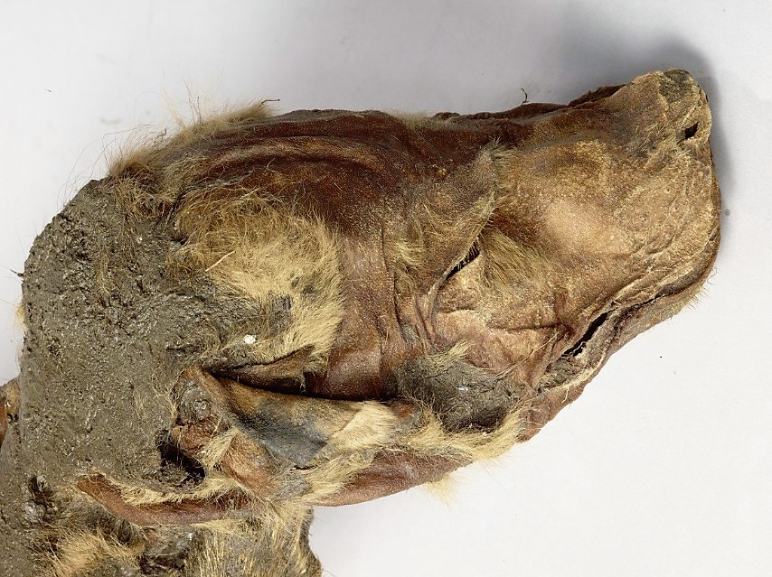 Mummified ice age wolf pup and caribou found in northern Canada