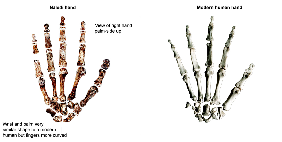 Homo naledi discovered in South Africa
