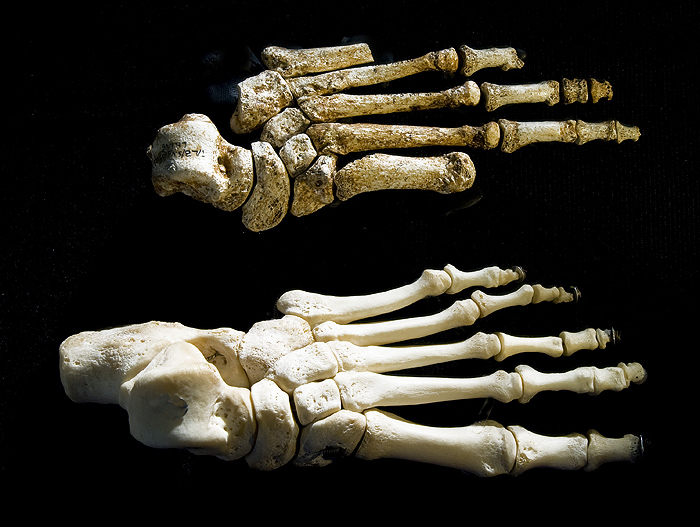 the foot of homo floresiensis and