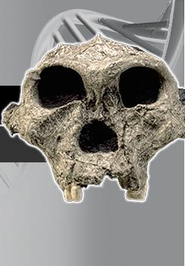 Paranthropus robustus