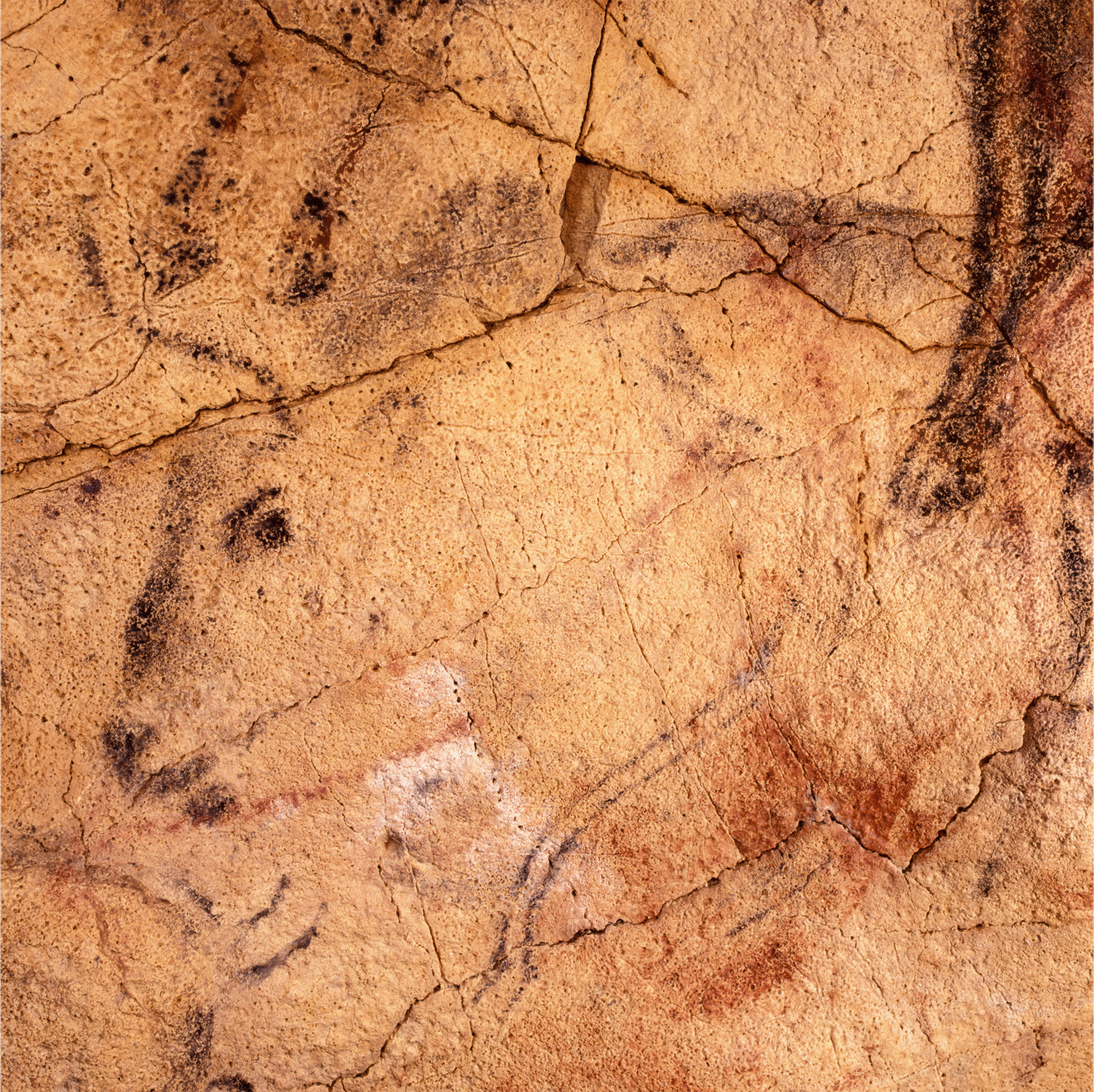 Black Bison Head Cave Art Paintings Altamira Spain Archaeology
